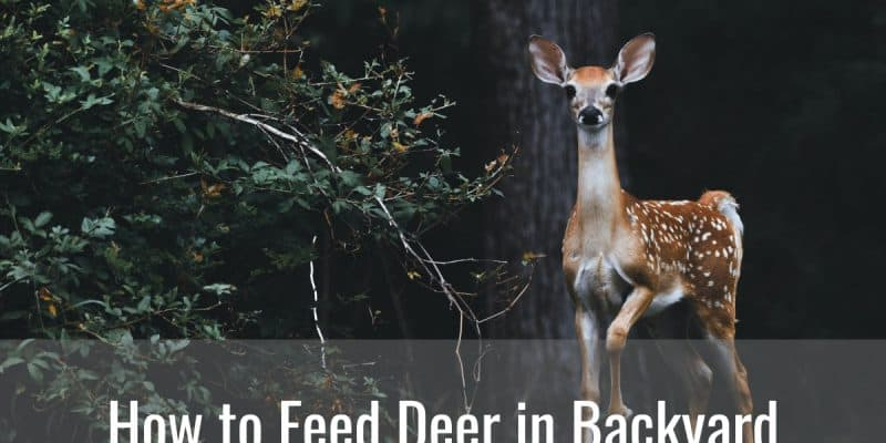 How to Feed Deer in Backyard