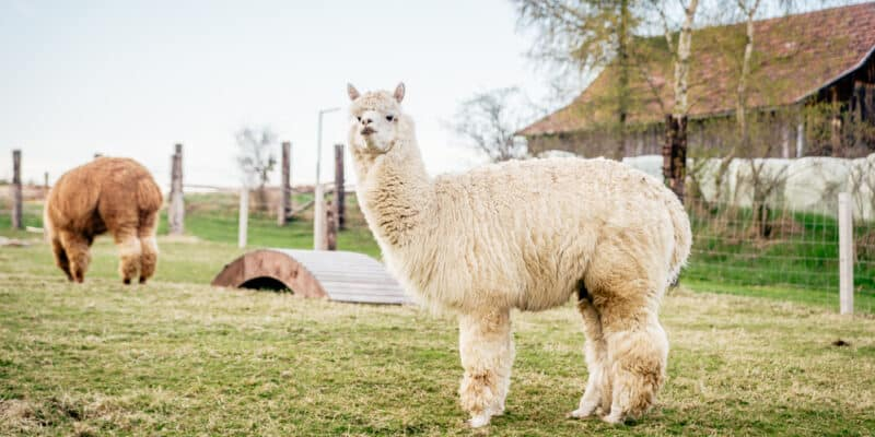 Can I Have An Alpaca In My Backyard